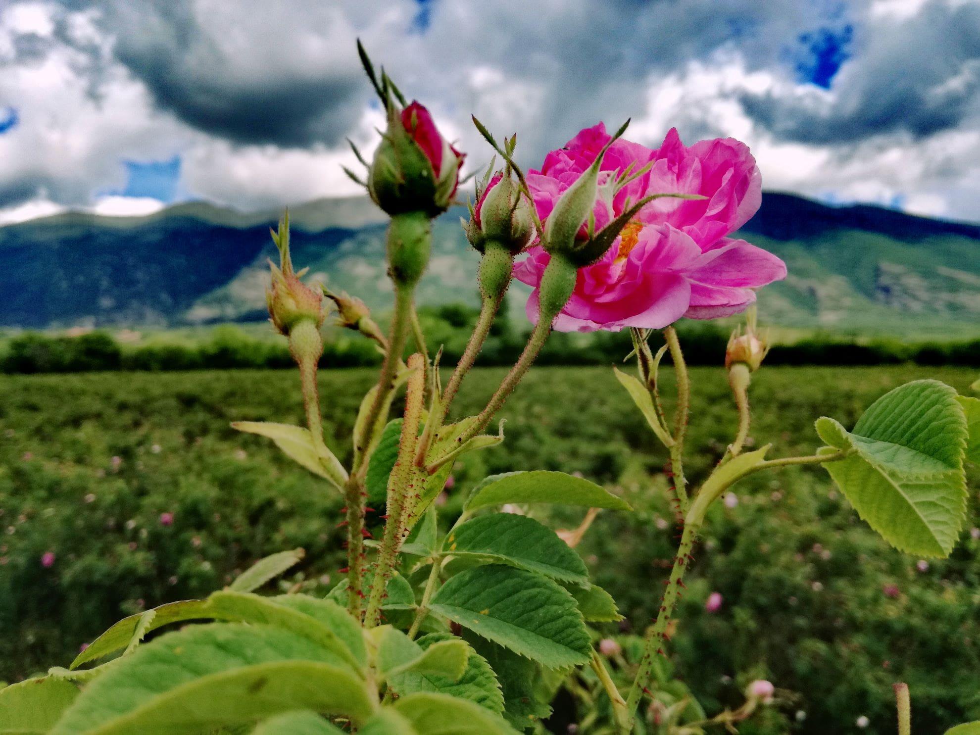 розова долина