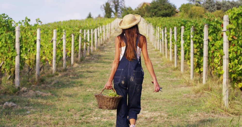 гроздобер в Шато Копса